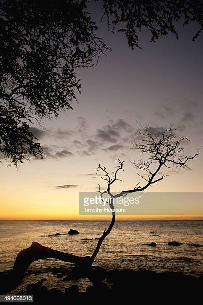 tree branch silhouetted against ocean at dusk - timothy hearsum stock photos and pictures