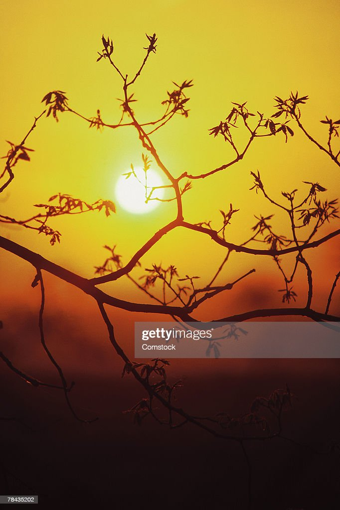 Tree branch silhouetted by spring sunset : Stockfoto