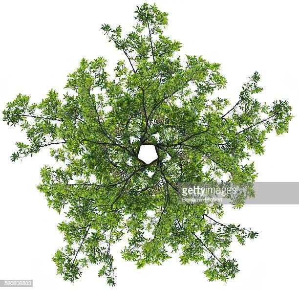 Tree branches in star shape