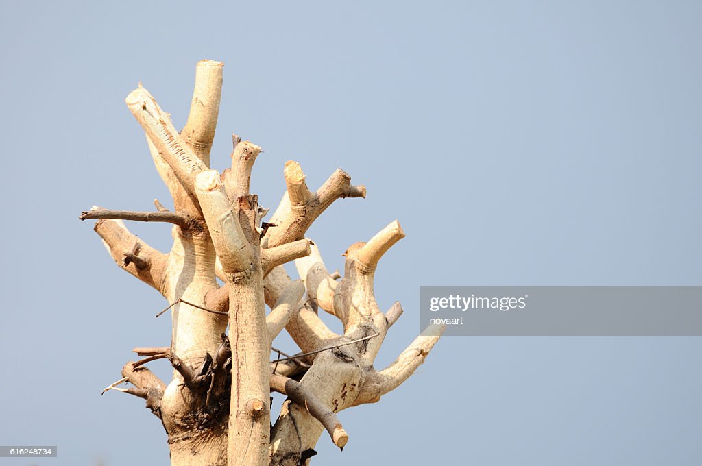 Tree branches trimmed with clean sky : Stock-Foto
