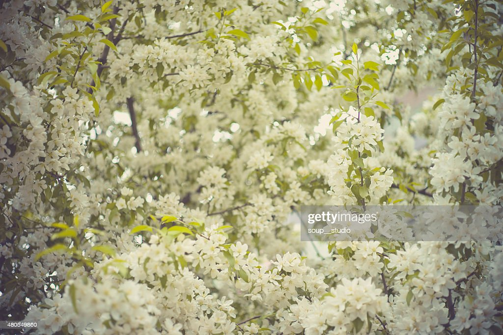 Tree brunch with white spring blossoms : Stock Photo