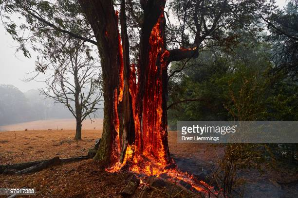A tree burns from the inside out hours after the fire front had past on January 05 2020 in Bundanoon Australia A state of emergency is in place...