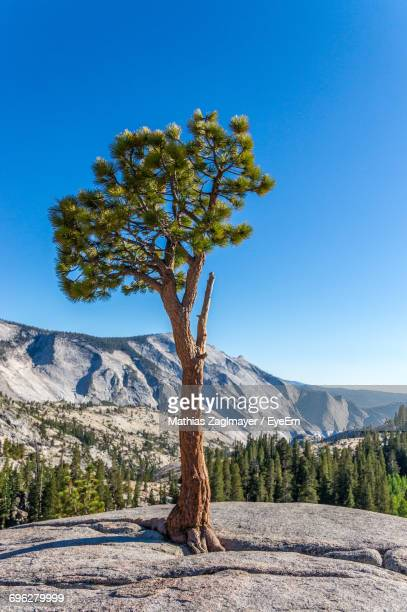 Tree By Mountain Against Clear Blue Sky