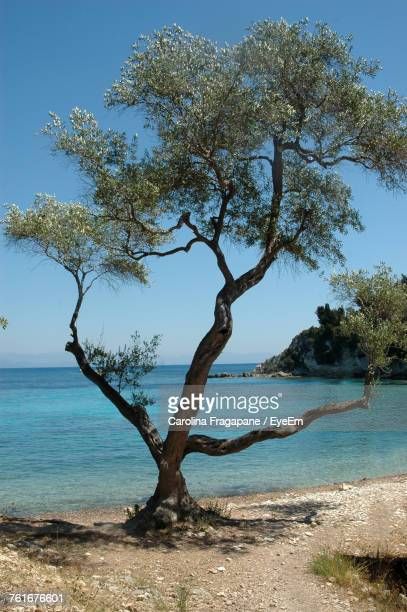 tree by sea against blue sky - carolina fragapane stock pictures, royalty-free photos & images