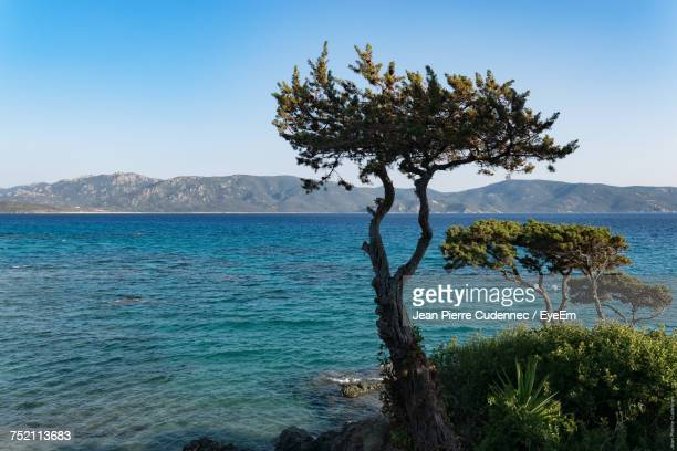 Tree By Sea Against Clear Blue Sky