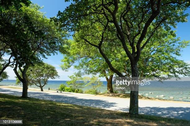 tree by the seafront in visby a sunny summer day - grove imagens e fotografias de stock
