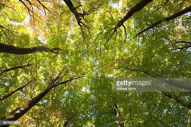 Tree canopies of a beech forest, Jasmund National Park, Ruegen, Mecklenburg-Western-Pomerania, Germany