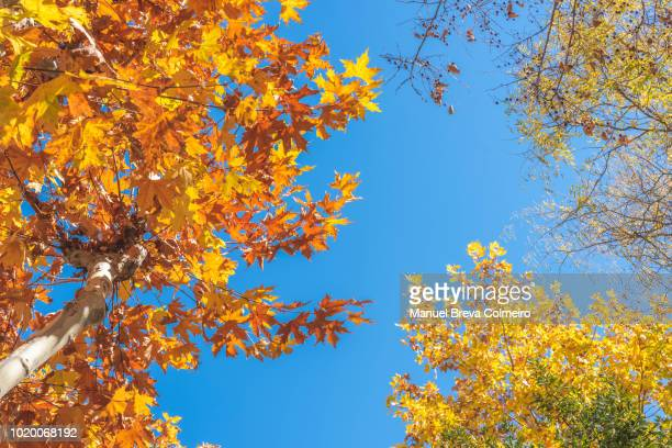 tree canopy in autumn - autumn leaf color stock pictures, royalty-free photos & images