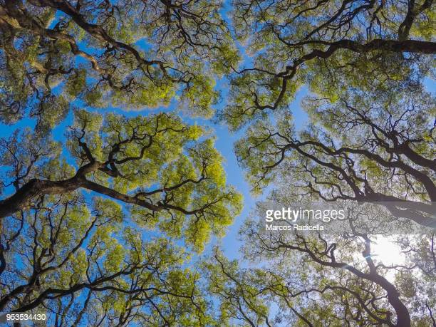 tree canopy in buenos aires - radicella stock pictures, royalty-free photos & images
