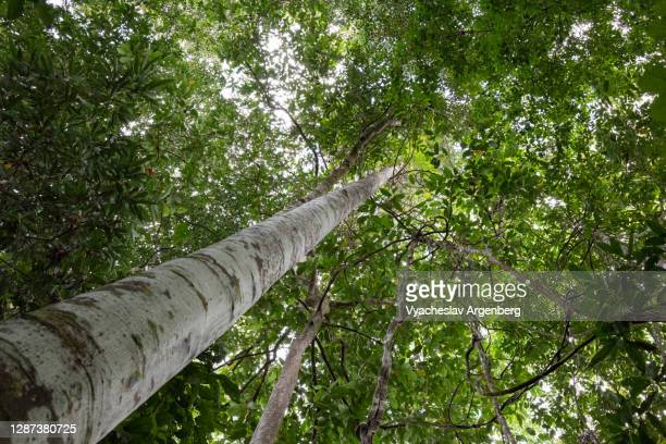 tree canopy in primary tropical rainforest, borneo, malaysia - argenberg stock pictures, royalty-free photos & images