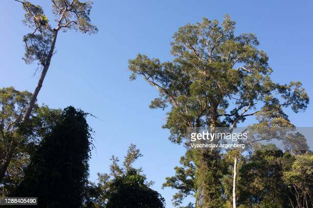 tree canopy in the sky, maliau basin, borneo - dipterocarp tree stock pictures, royalty-free photos & images