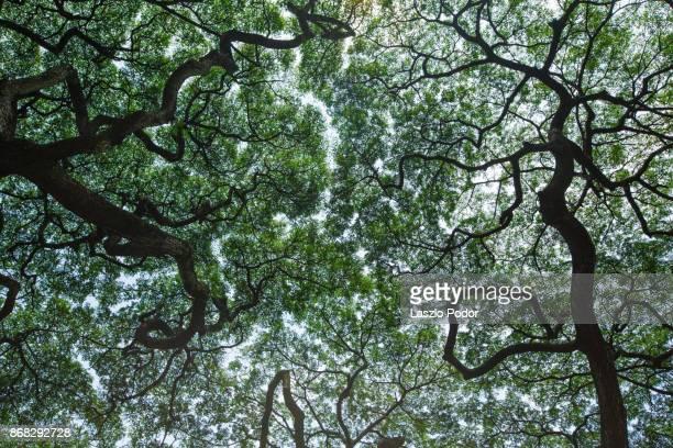 tree canopy - copa - fotografias e filmes do acervo