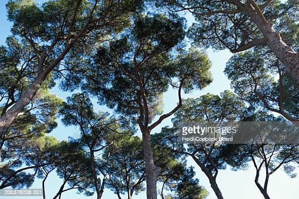 tree canopy, view from below - heidi coppock beard stock pictures, royalty-free photos & images