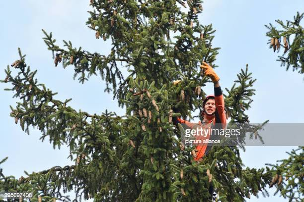 Tree climber Joerg Stuecker of the Hessian forest department 'Hessen Forst' harvests the cones in a 25 meter tall and more than 160 years old spruce...
