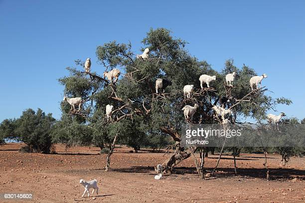 Tree climbing goats feeding in an argan tree in Essaouria Morocco Africa on 17 December 2016