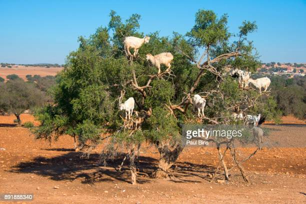 tree climbing goats on argan tree in morocco - argan tree stock pictures, royalty-free photos & images