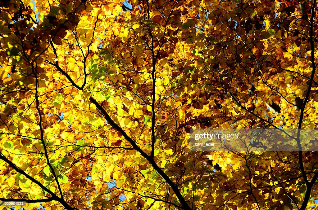 tree colorful leaves in autumn : Stock Photo