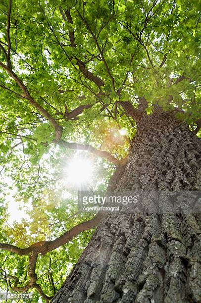 Tree, common oak (Quercus robur), photographed from below