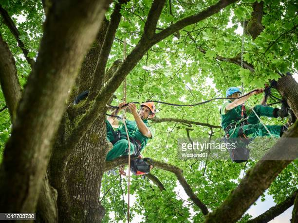 Tree cutters hanging on ropes in tree