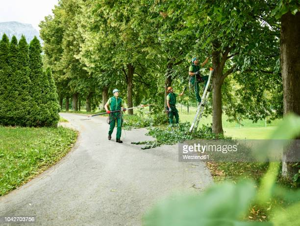 tree cutters pruning of trees - jardinage photos et images de collection