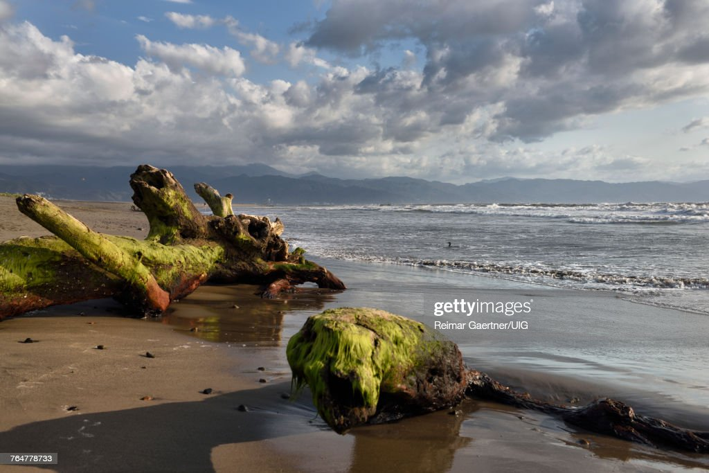 Tree Driftwood Covered In Seaweed On Beach Of Nuevo Vallarta Mexico