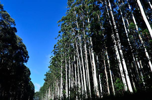 Tree eucalyptus plantation