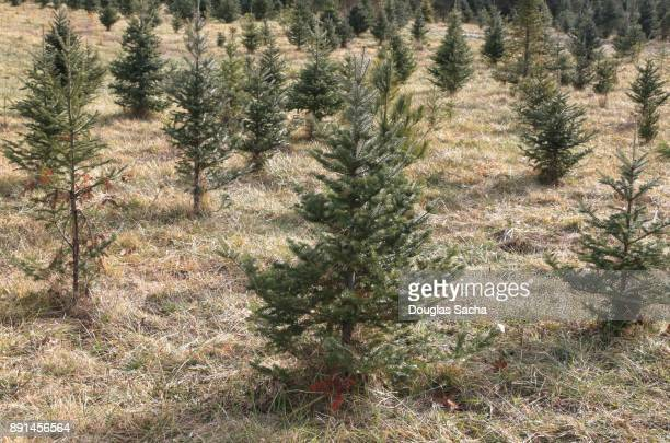 Tree Farm with growing christmas trees