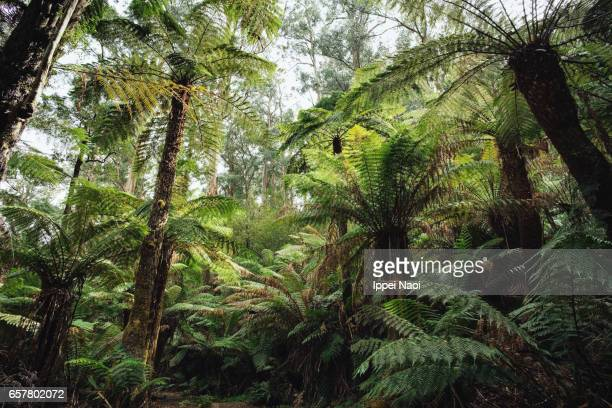 tree fern forest of dandenong ranges national park, victoria, australia - dandenong stock photos and pictures