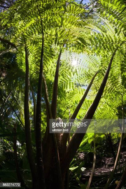Tree Fern in City Botanic Garden Cyatheales Brisbane Australia