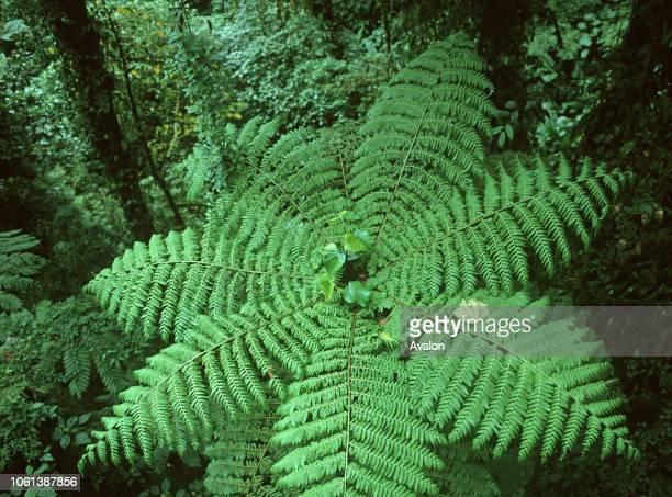 Tree fern in Cloud Forest Monteverde Biological Reserve Costa Rica Central America