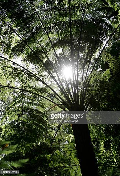 tree fern in william ricketts sanctuary in sherbrooke forest in the dandenong ranges. victoria, australia, - dandenong stock photos and pictures