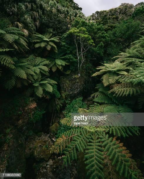 tree fern jungle on hachijo-jima island, tokyo, japan - albero tropicale foto e immagini stock