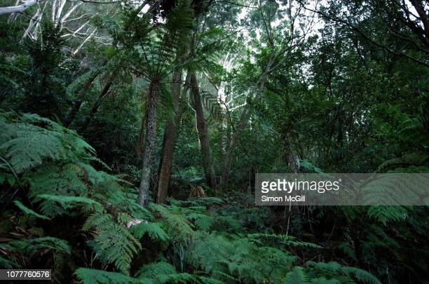 tree ferns and other rainforest vegetation along the sublime point walk, austinmer, illawarra escarpment state conservation area, new south wales, australia - uncultivated stock pictures, royalty-free photos & images