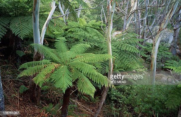 tree ferns & eucalyptus viminalis, strzelecki national park, flinders island, tasmania