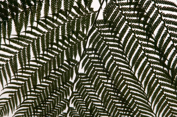 Tree ferns in the Bussaco Forest reserve in Portugal.