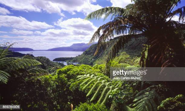 Tree ferns, Tarawera lake, Rotorua, New Zealand, Oceania