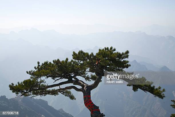 A tree festooned with red prayer ribbons on Hua Shan Mountain a series of granite domes near Xian one of Taoism's five sacred mountains Previously a...