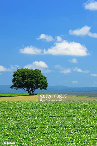 Tree, fields and sky with clouds, Hokkaido