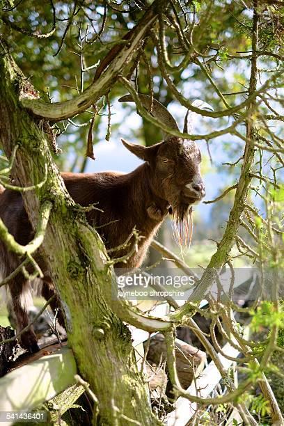 Tree Framed Goat
