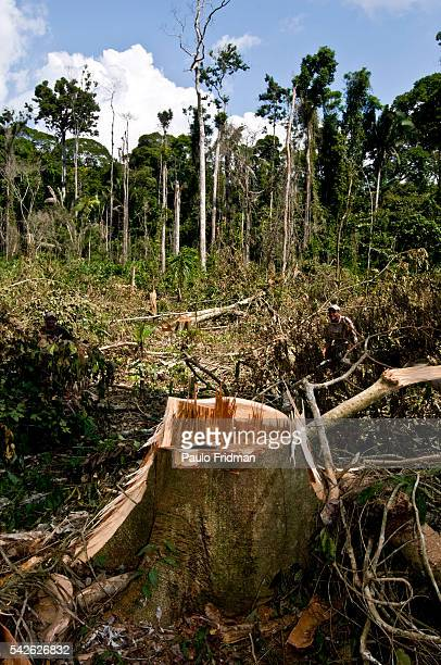 A tree freshly cut from the forest as illegal logging continues 40 km from Anapu Para Brazil Brazil's Government has announced a record rate of...