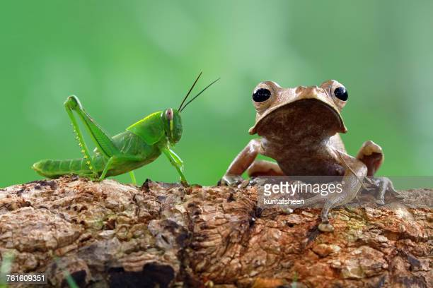 Tree frog and a grasshopper sitting on a tree