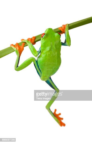 Tree frog hanging from branch