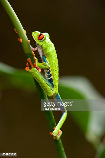 tree frog in costa rica - tree frog stock pictures, royalty-free photos & images