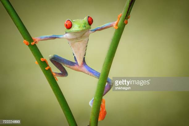 tree frog on a plant, indonesia - dobrável - fotografias e filmes do acervo