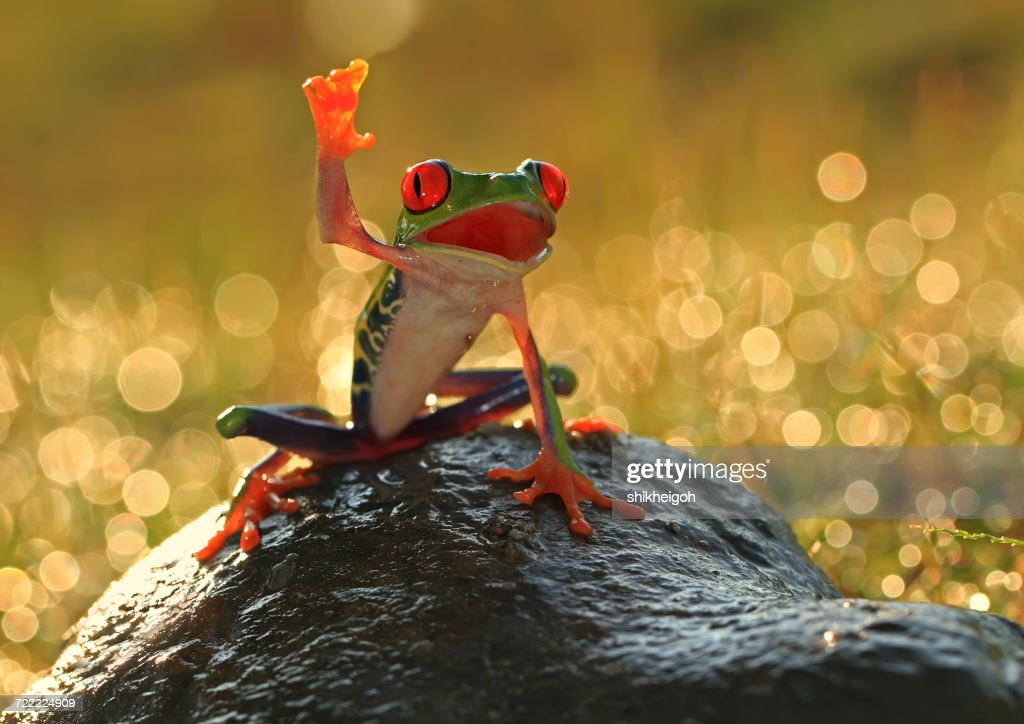 Tree frog on a rock, Indonesia : Stock Photo