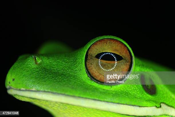 Tree frog photographed in Beo, Talaud, North Sulawesi, was at the top of the tree. Frog is mostly found near the settlement and secondary forests....