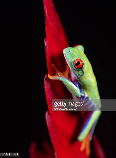 tree frog - bloodshot stock pictures, royalty-free photos & images
