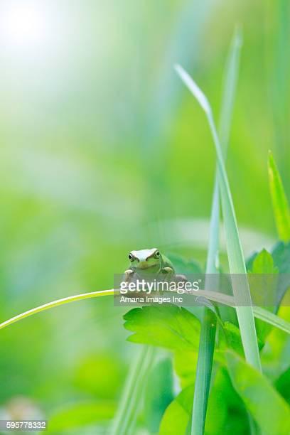 tree frog - 鳥取県 無人 ストックフォトと画像