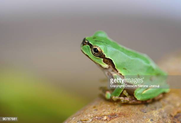 tree frog - tree frog stock pictures, royalty-free photos & images