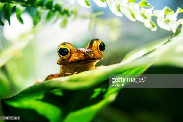 tree frog - island of borneo stock pictures, royalty-free photos & images